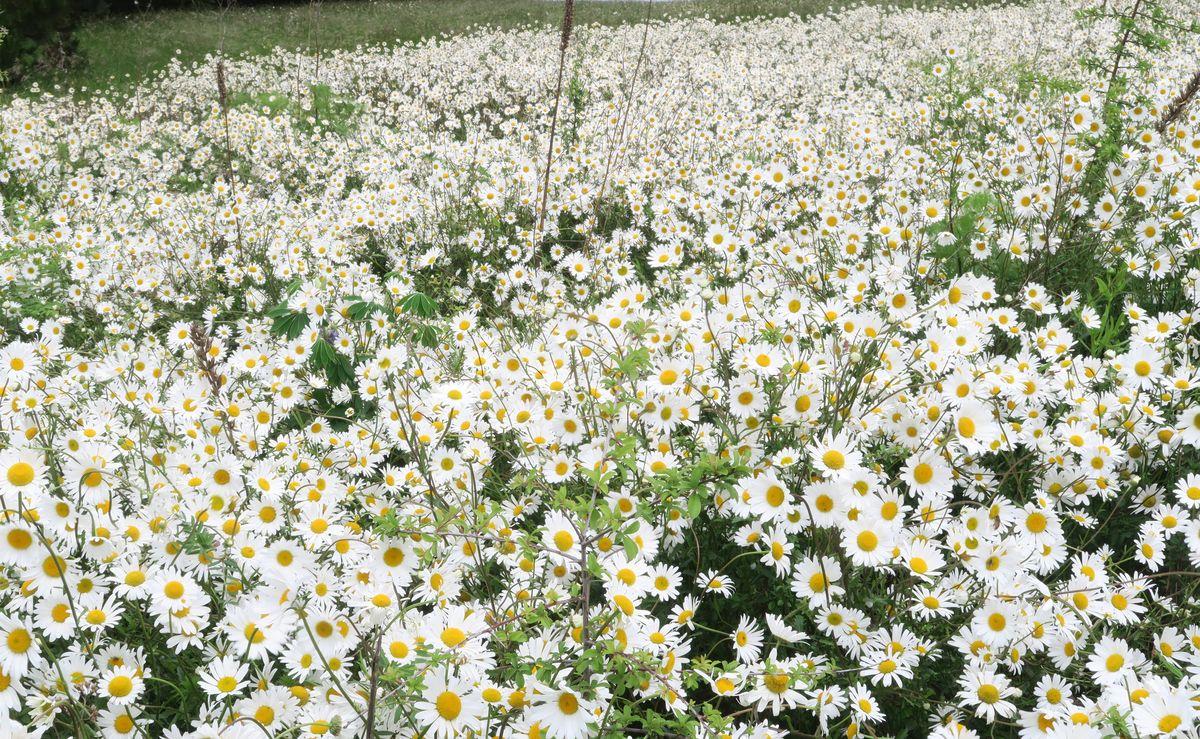 Prairie fleurie le long du sentier du littoral, au Perron à Saint-Briac